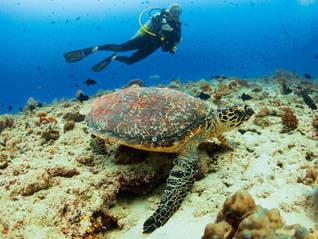 Velaa Private Island - Schildkröte - Tortuga- Velaa